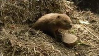 Female beaver