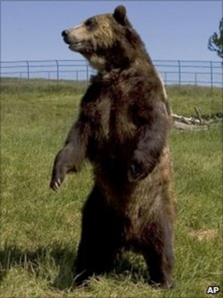 A grizzly bear