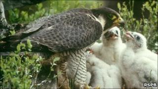 Peregrine falcon feeding chicks Photo: Chris Gomersall (Rspb-images.com)