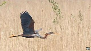 Adult purple heron flying at Dungeness