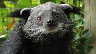 Binturong (or bearcat) at Drusillas