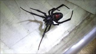 Black Widow spider