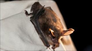 Bechstein's bat found at Westonbirt Arboretum: photo by Ben Oliver