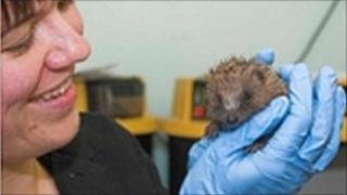 An injured hedgehog