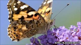 Painted lady butterfly on buddleia flower (Image: NTPL/R.Hoddinott)