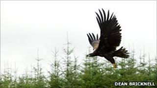 Sea eagle release/Pic: Dean Bricknell