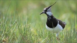 Lapwing (rspb-images.com)
