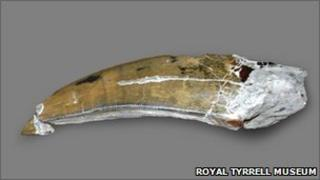tooth of an Albertosaurus