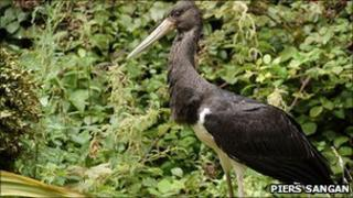 Black stork in Jersey