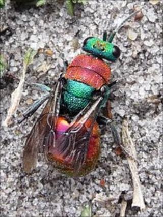 Ruby-tailed wasp Hedychrum niemelai