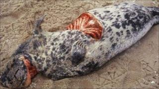 Seal with 'corkscrew' injury
