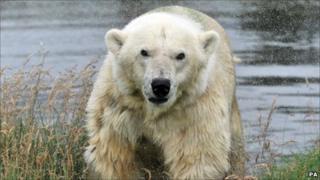 Mercedes polar bear. Image: Alan R Thomson/RZSS/PA