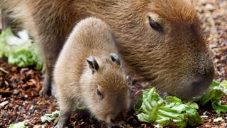 Baby capybara with parent, Paignton Zoo