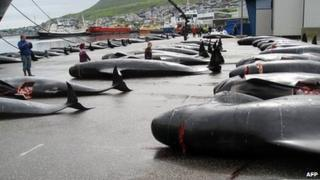 Pilot whale hunt in the Faroe Islands