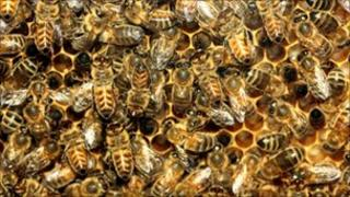 Honey bees working in a hive in a display at the Horniman Museum, London, file pic