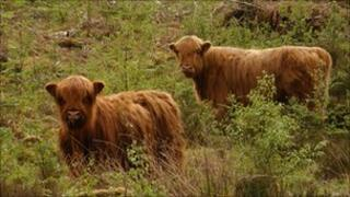 Highland cattle at Allt Mhuic. Image: Forestry Commission Scotland