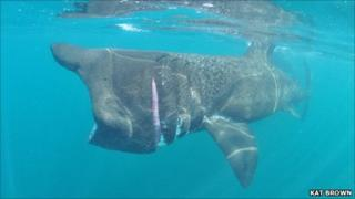 Basking shark off the Isles of Scilly