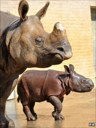 Greater one-horned rhino calf Ajang makes an appearance with his mother Behin