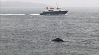 whale off Shetland
