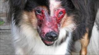 """Ella"" a badly burned dog found wandering with horrific injuries near Neath"