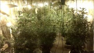 Cannabis farm in Brook Street