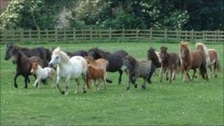 Horses, ponies and mules