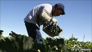 A migrant worker from Mexico harvests courgettes at a US farm