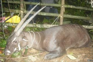 Saola captured in Laos in August 2010