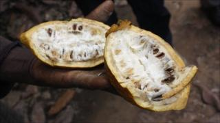 Seydou Sorogo shows a diseased cocoa pod at his farm near Bouafle