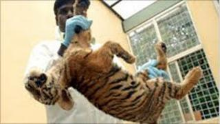 A tiger cub who died at the Indian national park