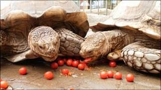 Tortoises at Colchester zoo