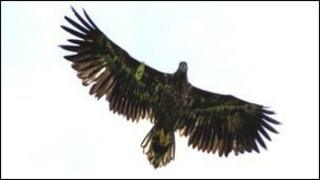 A rare sea eagle soars in the skies over north Antrim