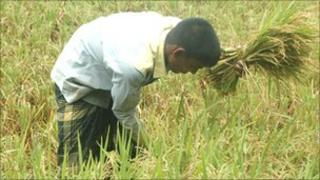 Man picking rice in paddy field