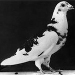 Black and white photograph of a pigeon