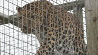 A leopard at Borth Animalarium