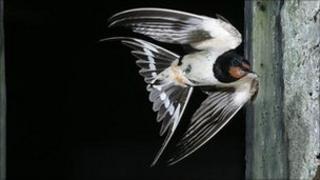 Swallow (Image: BBC)