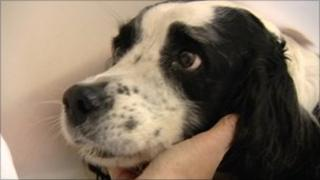 Springer spaniel Skipper, who was attacked by other dogs