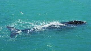 A southern right whale off the coast of South Africa 2009