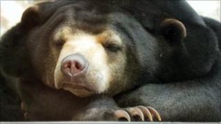 Sun bear Srey-Ya
