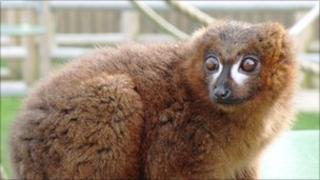 Kirioka the lemur
