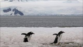 Gentoo penguins in Antarctica. File pic