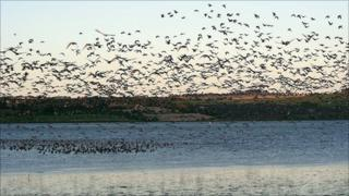 Pink-footed geese taking off