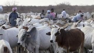 Cattle (AP)