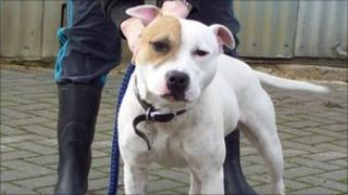 Diesel, a Staffordshire Bull Terrier