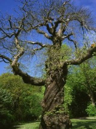 Rizzio's sweet chestnut tree; pic courtesy of Ed Parker