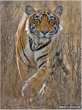 Andy Rouse's award-winning tigress photograph