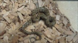 Adder discovered in box of grapes