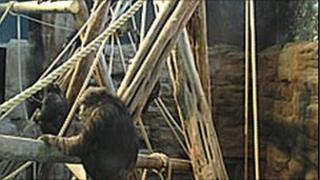 Edinburgh Zoo chimpanzee enclosure