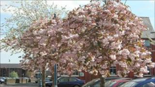 Cherry trees in bloom in Oswestry