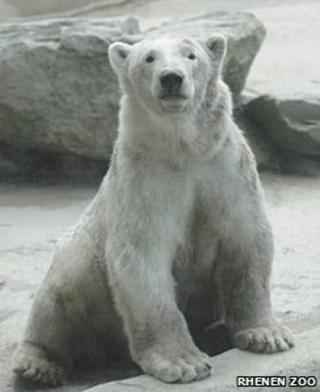 Walker the polar bear